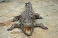 Crocodile sunbathing Royalty Free Stock Photo