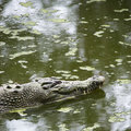Crocodile swimming. Stock Images