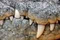 Crocodile teeth Royalty Free Stock Photo