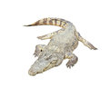 Crocodile on white isolated background Stock Photo