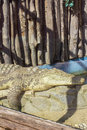 Crocodile at the zoo in bucharest romania Stock Photography