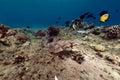 Crocodilefish the Red Sea. Royalty Free Stock Photo