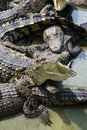 Crocodiles in the crocodile farm Stock Images