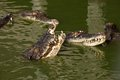 Crocodiles a lot of in water Royalty Free Stock Photo