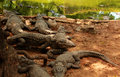 Crocodiles resting under the tree Royalty Free Stock Photo