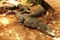 Crocodiles under a tree Royalty Free Stock Photo