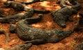 Crocodiles waiting for food Royalty Free Stock Photo
