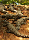 Crocodiles waiting for food Royalty Free Stock Photo