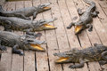 Crocodiles with yellow tongues Royalty Free Stock Photos