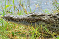 Crocodille close up on riverside of chobe river in botswana Stock Photo