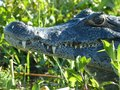 Crocodile in the wild nature Royalty Free Stock Photo