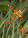 Crocosmia Flowers Royalty Free Stock Image