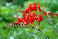 Crocosmia Lucifer Stock Photo