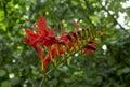 Crocosmia lucifer flower in summer garden Royalty Free Stock Photo
