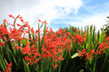 Crocosmia lucifer flowers close up Royalty Free Stock Images