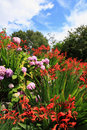 Crocosmia lucifer and pink hydrangeas in the garden Royalty Free Stock Photo