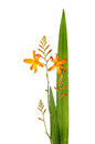 Crocosmia or montbretia also know as coppertips or falling stars flowers buds and foliage isolated against white Stock Photo
