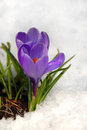Crocus Royalty Free Stock Image