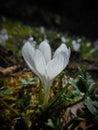 Crocus albiflorus Royalty Free Stock Photo