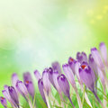 Crocus background Royalty Free Stock Photography
