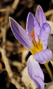 Crocus biflorus silvery mill in early spring Royalty Free Stock Photo