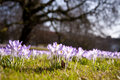 Crocus bloom in kiel germany Stock Photos