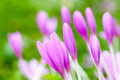 Crocus bright violet spring flowers on green meadow macro photo with selective focus Stock Photos