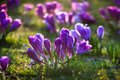 Crocus bunch of crocuses on the grass Royalty Free Stock Photography