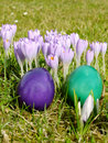 Crocus and Easter Eggs Stock Image