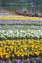 Crocus field the image of at groningen city on the north of netherlands Royalty Free Stock Image