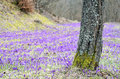 Crocus field with tree purple patches of green grass behind a mossy Stock Image