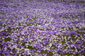 Crocus field of white and purple flowers Stock Image