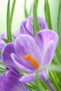 Crocus flower Stock Photo