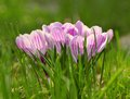 Crocus flower bloom in the field early spring Stock Image