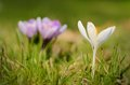 Crocus flower bloom in the field early spring Stock Photography