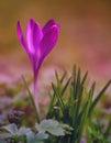 Crocus flower bloom in the field