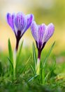 Crocus flower bloom in the field early spring after rain Stock Images