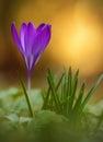Crocus flower bloom in field