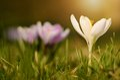 Crocus flower bloom in sunset
