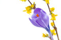 Crocus flower and Forsithya Royalty Free Stock Photo