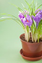 Crocus flower in pot Stock Photo