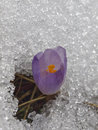 Crocus flower in snow mountain macro Royalty Free Stock Images