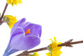Crocus flower  and yellow forsithya Stock Photos