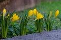 Crocus flowerbed yellow vernus Stock Photography