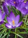 Crocus flowers beautiful vernus Stock Photos