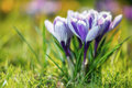 Crocus flowers bouquet of in spring Stock Photos