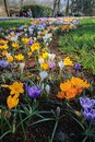 Crocus flowers field the image of colorful Stock Photos