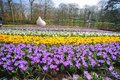 Crocus flowers field the image of colorful Stock Photography
