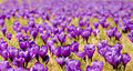 Crocus flowers field purple colour of the meadow poland Royalty Free Stock Image