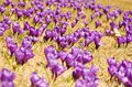 Crocus flowers field purple colour of the meadow poland Royalty Free Stock Photography